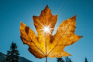 close-up photography of sunlight through maple leaf